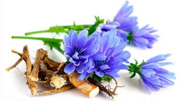 Floral de Bach para Desapego no Amor: Chicory