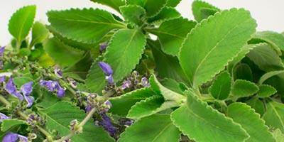 Boldo com flores - planta para limpeza energética de ambientes
