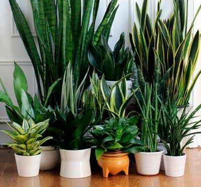 Diferentes tipos da planta Espada de São Jorge - limpeza energética de ambientes