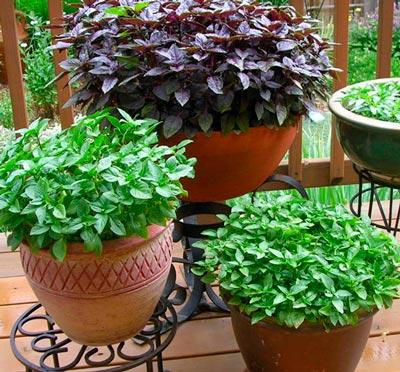 Diferentes tipos de Manjericão verde roxo
