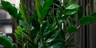 Folhas da planta Zamioculca