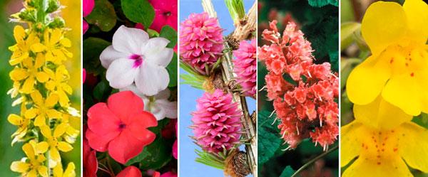 Florais de Bach para Ansiedade - Agrimony, Impatients, Larch, Red Chesnut e Mimulus