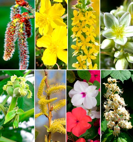 Florais de Bach para Insônia: Aspen, Rock Rose, Agrimony, Scleranthus, Walnut, Willow, Impatients, White Chestnut.