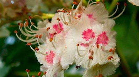 Florais de Bach para Nervosismo: White Chestnut