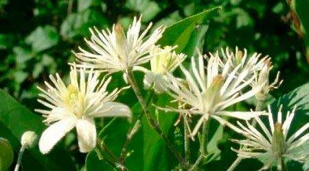 Florais de Bach para Concentração: Clematis
