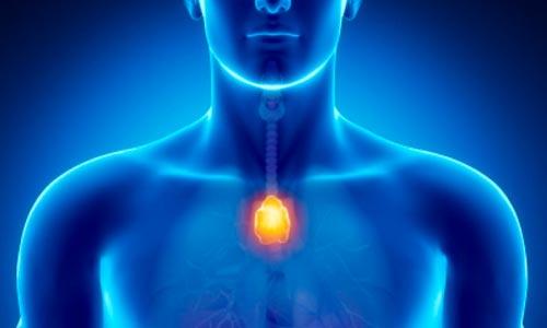 glandula timo localizada no meio do peito